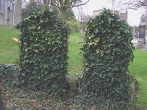 Headstones Overgrown With Ivy